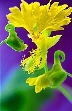 Canary Flower. Have you ever seen that beauty in real life? https://www.facebook.com/soprettyflowers?fref=nf