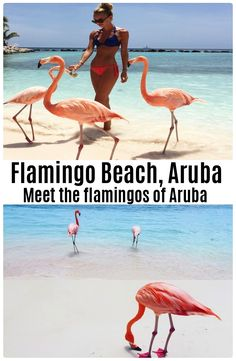 Complete guide to the flamingos of Aruba