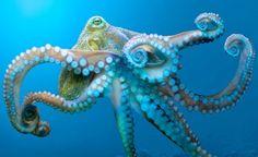 The Monterey Bay Aquarium Brainy Octopus. Monterey Bay Aquarium inspires conservation of the oceans through breakthrough 'Tentacles' exhibit. Kraken Octopus, Octopus Tentacles, Octopus Art, Octopus Photos, Octopus Painting, Red Octopus, Giant Pacific Octopus, Orange Coast, Monterey Bay Aquarium