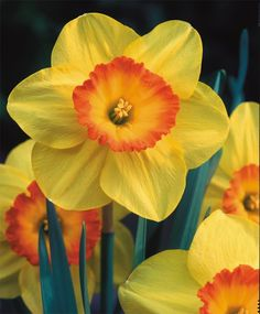 Narcissus Delibes - Large Cupped Narcissi - Narcissi - Fall 2015 Flower Bulbs