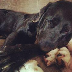 Black lab Sasha sleeping on basset hound Rosemary.