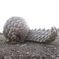 Pangolin | 23 Dumb Animals That I Can't Believe Are Really Real