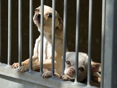 """20 animals rescued from a urine-soaked Stanton mobile home are now up for adoption at Orange County Animal Care shelter. Pictured here are Wishbone, a 4-year old male Chihuahua – shelter ID A1162718 and his kennel mate Walt, a 6-year old male Chihuahua – shelter ID A1162717. The Animal Care shelter is at 561 The City Drive South in Orange. Go to OCGov.com and click on """"Animal Control"""" under """"Popular Links"""" for more info. Posted May 9, 2012. Photo by Ken Steinhardt, The Orange County Register"""