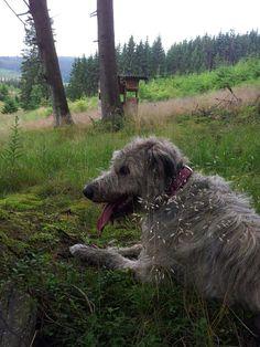 three hounds - Kenya 1920s | My boys (irish wolfhounds) | Pinterest ...