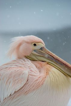Pink Pelican looking bemused deep in the february snow . St james park, nearest tube is st james park or westminster Adult category.
