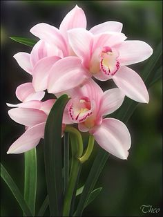 Cymbidium orchids such a pretty shade real life for colour reference Cymbidium orchids such a pretty shade real life for colour reference The post Cymbidium orchids such a pretty shade real life for colour reference appeared first on Ideas Flowers. Exotic Flowers, Amazing Flowers, My Flower, Pretty Flowers, Pink Flowers, Flower Diy, Elegant Flowers, Unique Flowers, Pretty Pastel