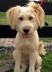 COCO LATTE is an adoptable Labrador Retriever Dog in Coventry, RI. My name is Latte and I'm a Labradoodle, I'm not exactly sure what that means, but I think it means I'm kind of cute because everyone ...