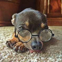 An intellectual Chihuahua wearing spectacles. apparently with such a big brain there's not enough room left in his head for his tongue. Chihuahua Love, Chihuahua Puppies, Cute Puppies, Cute Dogs, Chihuahuas, Baby Animals, Funny Animals, Cute Animals, Cute Animal Pictures