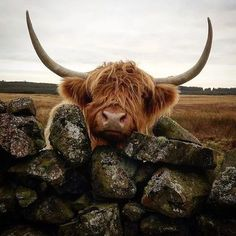Highland cow in Scotland Cute Baby Cow, Baby Cows, Cute Cows, Cute Baby Animals, Farm Animals, Animals And Pets, Funny Animals, Scottish Highland Cow, Highland Cattle
