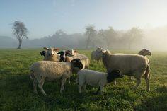 fazenda de ovelhas
