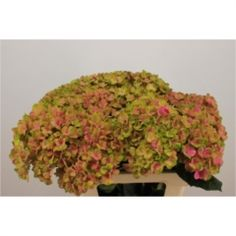 Hydrangea: Magical Coral    Dutch Farm Direct - Two Days A Week - Wednesday & Friday delivery. We ship To All 50 States!!     Create Your Own Combo Boxes at Farm Level. Wholesale To The Trade Only.   No Sign Up Fees Or Obligations - No Fuel Or Box Charges. Free FedEx   Shipping Is Always Included In The Price!!    Please follow us here on   Facebookhttps://www.facebook.com/ibuyflowersllc/