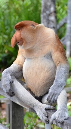 Picture of a proboscis monkey. mammals Picture of a proboscis monkey Unusual Animals, Rare Animals, Animals Beautiful, Animals And Pets, Funny Animals, Strange Animals, Exotic Animals, Primates, Mammals