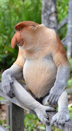 Picture of a proboscis monkey. mammals Picture of a proboscis monkey Rare Animals, Unique Animals, Animals And Pets, Funny Animals, Wild Animals, Strange Animals, Exotic Animals, Primates, Mammals