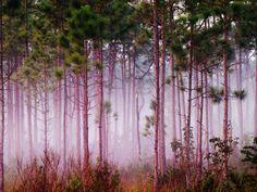 Mist Among Pine Trees at Sunrise, Everglades National Park, Florida