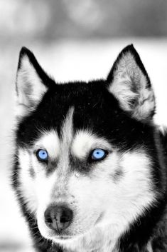 Siberian husky dog portrait outdoor in winter White Siberian Husky, Siberian Husky Puppies, Husky Puppy, Siberian Huskies, Alaskan Husky, Alaskan Malamute, Haski Dog, Yorkshire Terrier Puppies, Mundo Animal