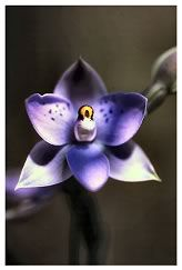 Spotted-Sun-Orchid: Thelymitra nervosa. The Sun Orchids only open their flowers in full sun (hence the name), and even then some refuse to open.