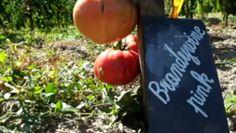 Rendez-vous au conservatoire de la tomate en Touraine.