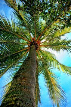palm splendor
