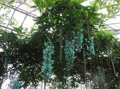 Jade Vines, Royal Botanical Gardens Edinburgh