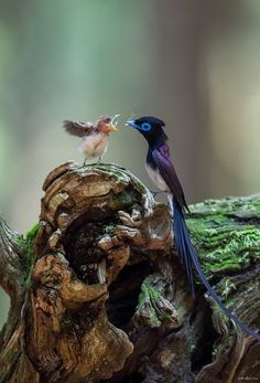 Japanese Paradise Flycatcher with nestling by Nobby