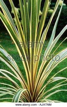Cordyline australis Sparkler
