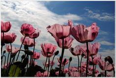 pink poppies photos - Google Search