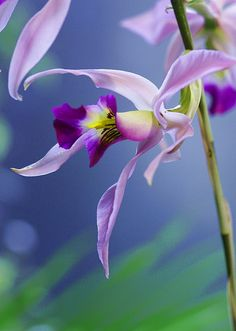 ~~Laelia anceps Linfl. ~ orchid by nobuflickr~~