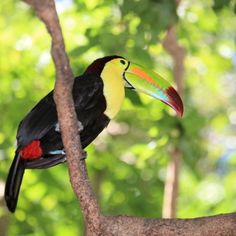 A Toucan in The Parque das Aves is a wildlife conservation bird park within the Iguazu National Park. Toucans, hummingbirds, and macaws, along with hundreds of other species, are viewed inside the atriums. A butterfly house and nature paths are also onsite.