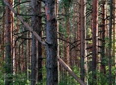 Pine forest by alexandrborisov1 #nature #mothernature #travel #traveling #vacation #visiting #trip #holiday #tourism #tourist #photooftheday #amazing #picoftheday