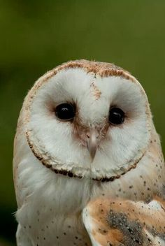 Barn owl- what beautiful expression.