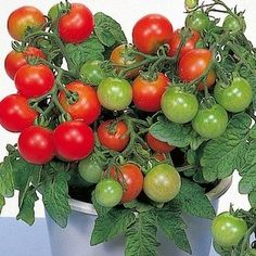 SeedsDirect's Red Robin Cherry Tomato Seeds - 25 Pack - Certified Organic Non - GMO Tomato Vegetable, Vegetable Garden, Growing Cherry Tomatoes, Black Cherry Tomato, Cape Gooseberry, Tomato Seeds, Planters, Organic, Stuffed Peppers
