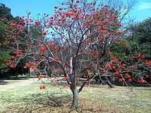 Erythrina lysistemon x 1 From Tishie Garden, Plants, Garten, Lawn And Garden, Gardens, Plant, Gardening, Outdoor, Yard