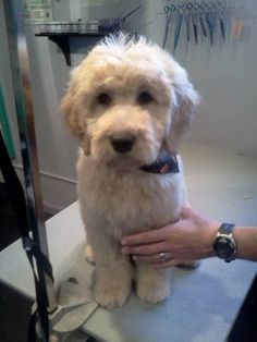 In this article, we will be discussing Goldendoodle grooming. We will outline the most important steps on how to groom a Goldendoodle, and we will even touch a little bit on Goldendoodle grooming styles. Chien Goldendoodle, Standard Goldendoodle, Goldendoodle Haircuts, Goldendoodle Grooming, Australian Labradoodle, Dog Grooming, Goldendoodles, Labradoodles, Cockapoo