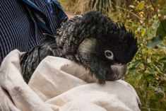 Scientists are cautiously optimistic about the future of the Carnaby's cockatoo population in bushland badly burnt in the Parkerville fires, in the Perth Hills area, two years ago: December 4, Cockatoo, Parrots, Scientists, Perth, Dog Breeds, Burns, Australia, Future