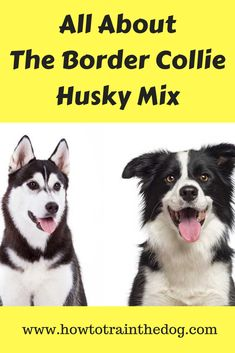 Hottest Absolutely Free Border Collies facts Concepts A National boundaries Collie hails through the borderlands with Britain along with Scotland (hence your name! Border Collie Facts, Border Collie Training, Border Collies, Border Collie Husky Mix, Designer Dogs Breeds, Smartest Dog Breeds, Beautiful Dog Breeds, Dog Activities, Training Your Dog