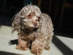 Tobey is an adoptable Maltese Dog in Ossian, IN.  Tobey, Male, Malti-Poo DOB 11/22/03 He loves everyone and his tail never stops, asks to go outside when he needs to potty. Tobey is walleyed and the ...