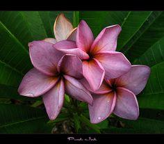 Rare Flowers - The Plumeria Purple Jack, via Flickr.