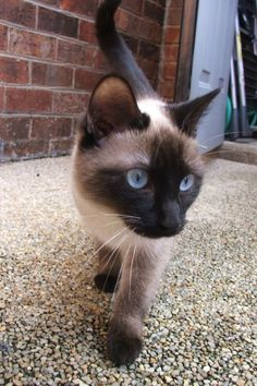 The siamese #cat breed is originally comes from Thailand, where historically they were adored by royalty. This article describes these amazing #cats.