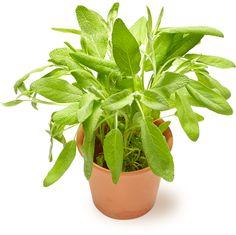 Salvia | Oksasen Puutarha