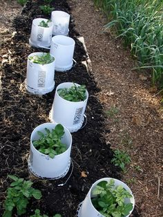 Growing Potatoes In Upside Down Buckets - larger yields, easier harvest and maintenance... #gardening #homesteading