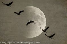 Double exposure of Sandhill Cranes and the moon at Crex Meadows Wildlife Area near Grantsburg, WI.