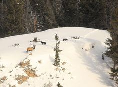 Fish and Wildlife Commission tightens wolf, elk hunting rules | State & Regional | missoulian.com