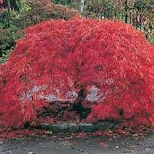 Acer palmatum dissectum Crimson Queen - Google Search