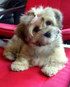 Havanese puppy. Official dog of Cuba. The cuuuuutest puppies I have ever seen!