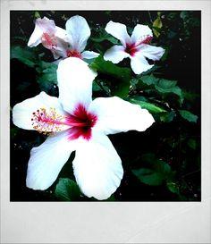 Ibiscus - Cabo Verde