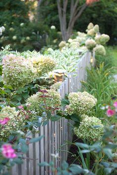 LIMELIGHT HYDRANGEA......Less Lawn More Garden - eclectic - landscape - new york - Westover Landscape Design, Inc.