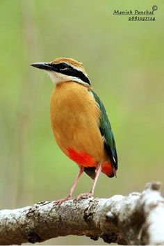 Indian Pitta (Pitta brachyura) Cute Birds, Small Birds, Colorful Birds, Birds And The Bees, Tiny Bird, Exotic Birds, Bird Species, Bird Watching, Bird Feathers
