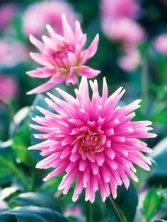 Browse a gallery of blooming dahlias, perfect for eye-catching garden or patio displays, at HGTV.com.