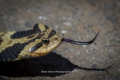 Indiana Hog Nose Snake.  Found it in Indiana Dunes State Park on 5MAY13