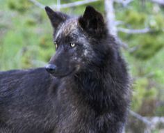 Wild, black wolf in Yellowstone National Park, Wyoming, USA. Wolves lose endangered species status in Wyoming